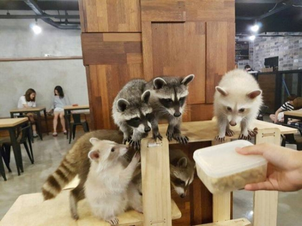Racoons, eager to be fed at a café. Source: The Korean Herald