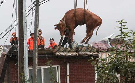 ▲ The firefighters are rescuing a cow that climbed onto the roof of the barn after heavy rain flooded the barn(Source=news.naver.com)
